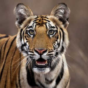 Keshari's Tiger Photo
